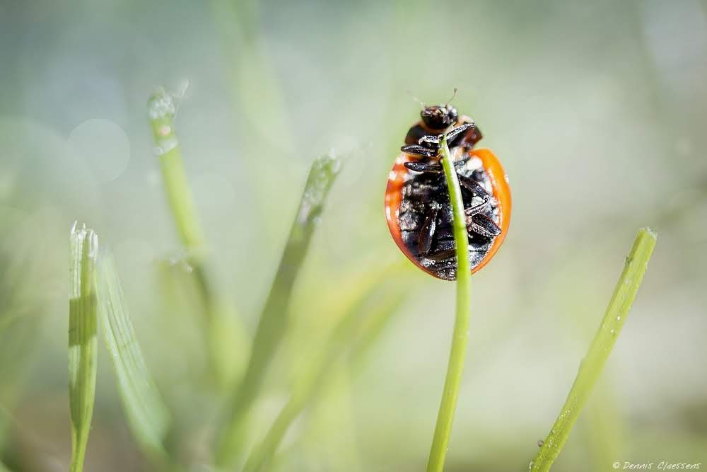 https://www.dennisclaessens.nl/shop/animals/ladybug/